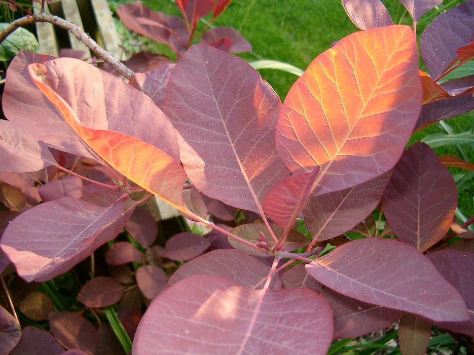 cotinus royal purple_ Tythorne Garden De