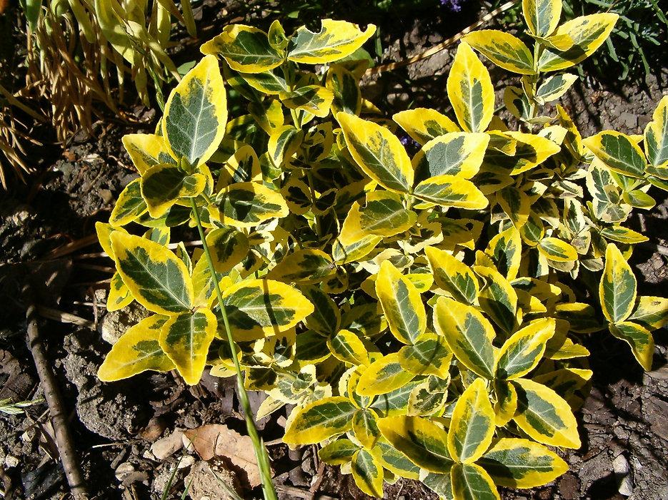 euonymus tythorne garden design.jpg