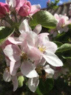 malus john downie blossom tythorne garde
