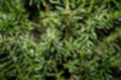 taxus baccata tythorne garden design.jpg