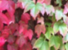parthenocissus tricuspidata Tythorne Garden Design