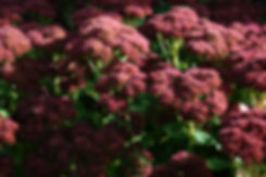 sedum autumn joy tythorne garden design.