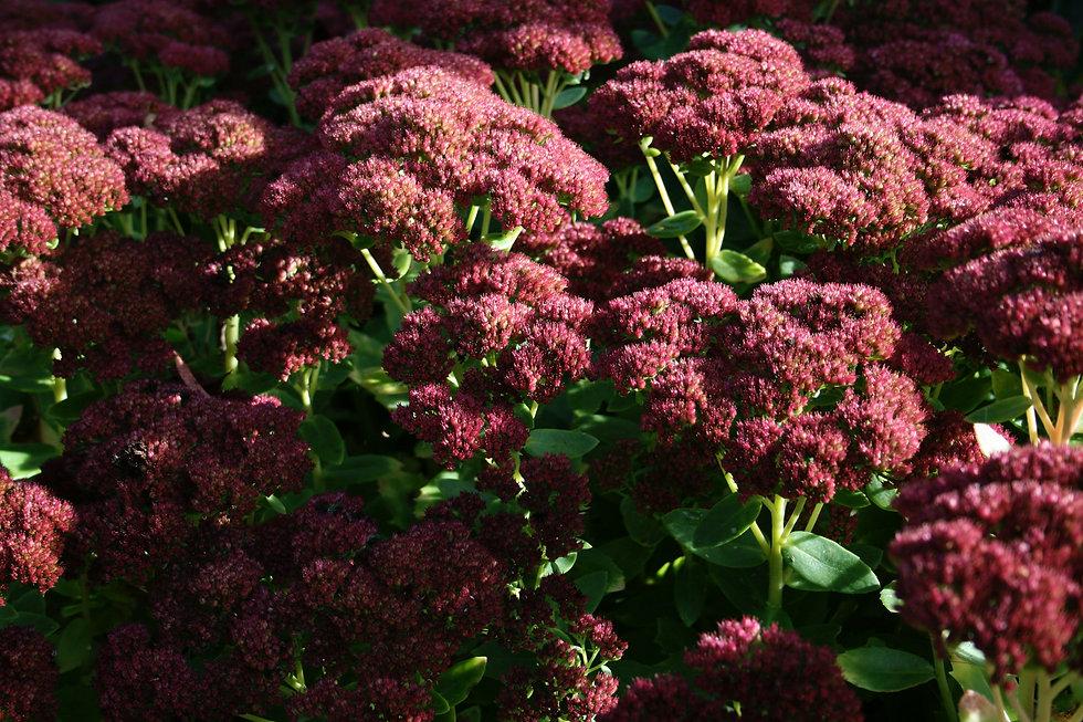 sedum autumn joy tythorne garden design.