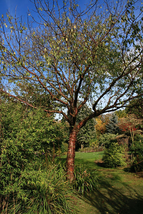 Prunus serrula Tythorne Garden Design.jp