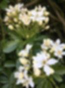 choisya ternata tythorne garden design.j