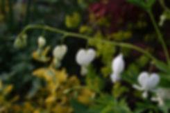 dicentra alba tythorne garden design.jpg