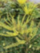 mahonia charity tythorne garden design.j