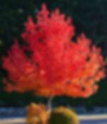 liquidambar Tythorne Garden Design image