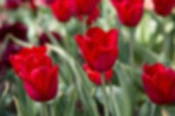 tulipa.jpeg
