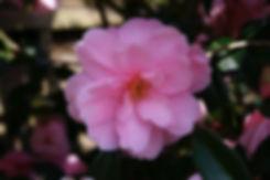 camelia donation tythorne garden design