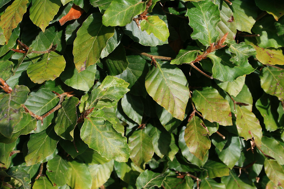 beech hedge green tythorne garden design