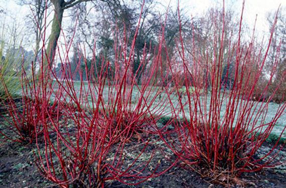 Cornus alba 'Sibirica'_ Tythorne Garden