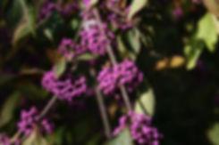callicarpa profusion tythorne garden design