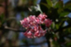 viburnum dawn Tythorne Garden Design.jpg