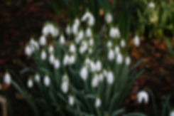 snowdrops Tythorne Garden Design.jpg
