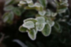 buxus in frost tythorne garden design.jp