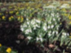 snowdrops mass Tythorne Garden Design.JP