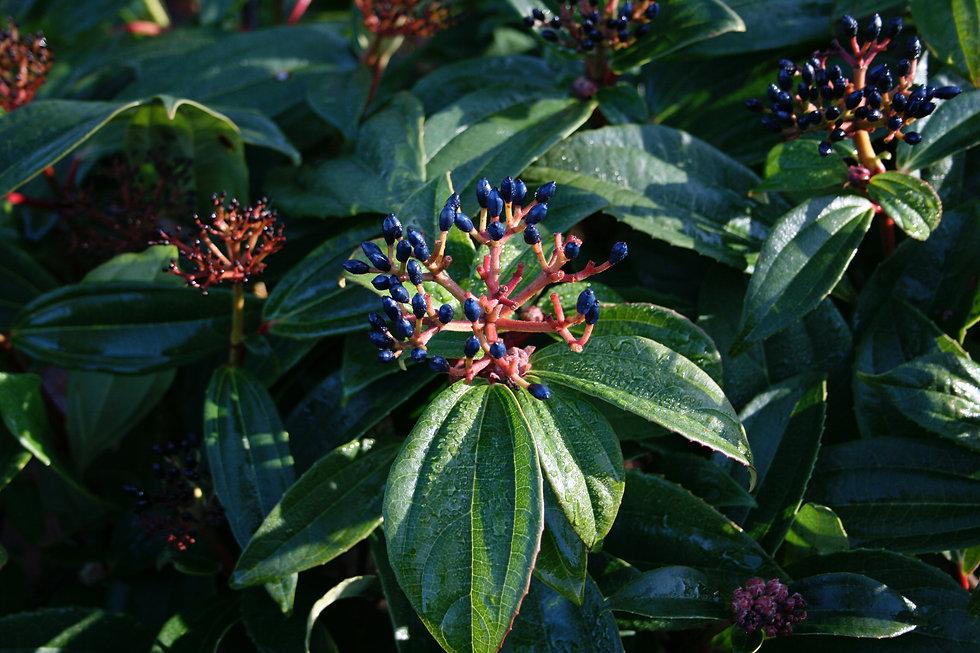 viburnum davidii tythorne garden design.
