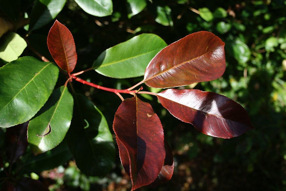 photinia red robin tythorne garden desig
