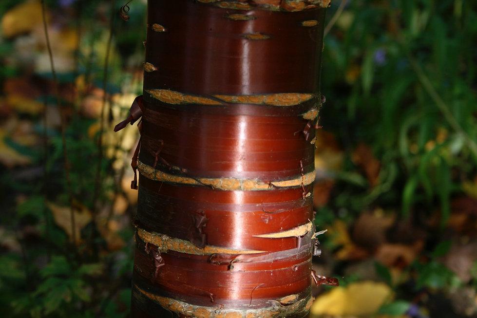 Prunus serrula bark Tythorne Garden Desi