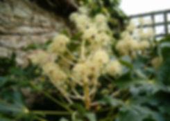 fatsia japonica tythorne garden design.j