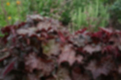 Heuchera Palace Purple Tythorne Garden Design