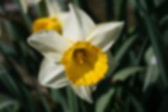 narcissi daffodil tythorne garden design.jpg