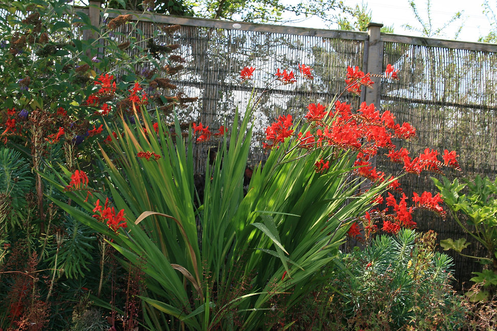 crocosmia lucifer tythorne garden design