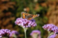 verbena bonariensis tythorne garden desi