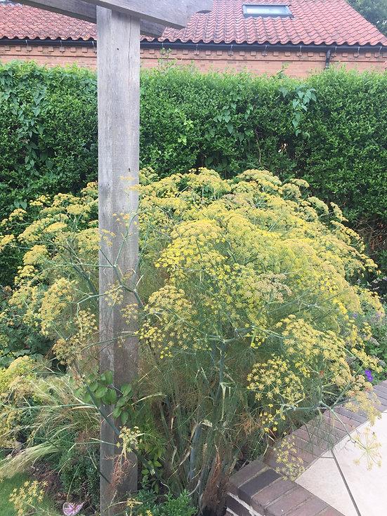 foeniculum purpureum tythorne garden des