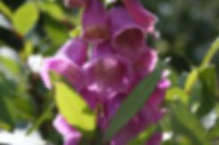 digitalis Tythorne Garden Design.jpg