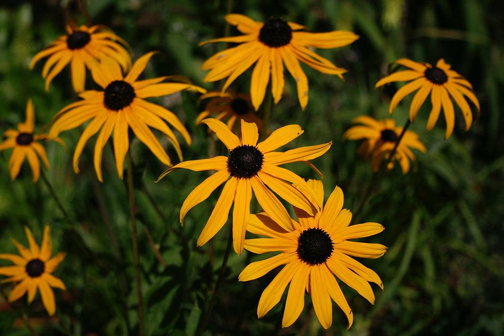 rudbeckia goldsturm tyhorne garden desig