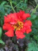 Geum Mrs Bradshaw Tythorne Garden Design