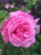 rosa zephirine drouhin tythorne garden d
