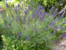 lavandula hidcote Tythorne Garden Design