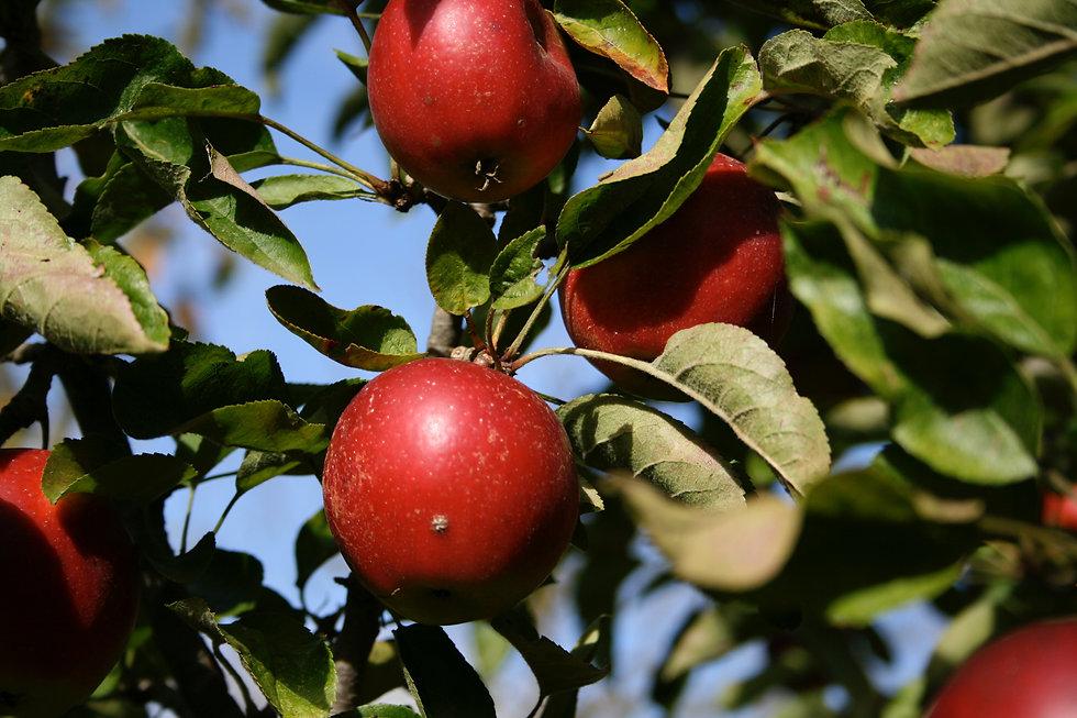 garden design with apples Tythorne Garden Design