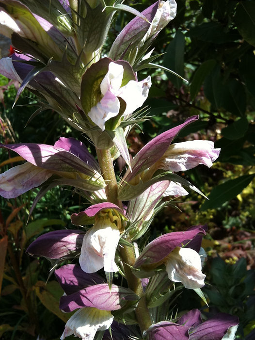 acanthus spinosus tythorne garden design.jpeg