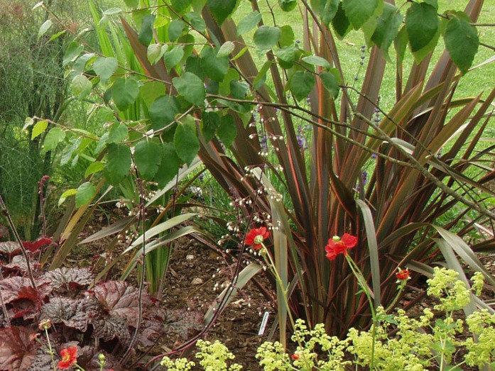 phormium sundowner tythorne garden desig