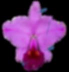 orquidea, petala, sepala, labelo, coluna, partes da flor