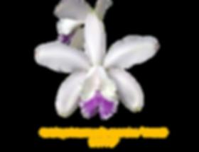 Cattleya intermedia nativa coerulea paulo hoppe