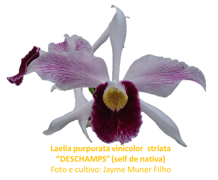 Laelia purpurata vinicolor striata deschamps