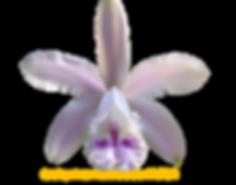 Cattleya intermedia nativa oculata nestor