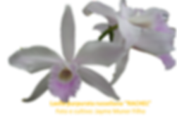 Laelia purpurata russeliana nativa rachel