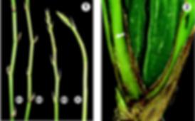 pragas nas orquideas, nematoides