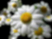 remedios caseiros para orquideas, combate de pragas em orquideas,  camomila