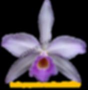Laelia purpurata nativa russeliana evilério