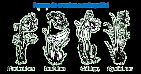 crescimento simpoidal nas orquideas