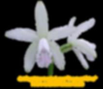 Cattleya intermedia suave Fransua Albino