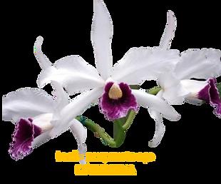 Laelia purpurata nativa aço estrelinha roxo violeta