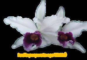 Laelia purpurata nativa aço timbó roxo violeta